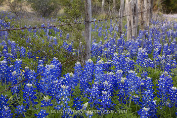 Bluebonnets along a Barbed Wire Fence