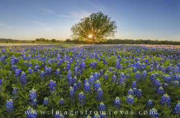 Bluebonnets and One Tree 1