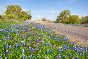 Texas Bluebonnets and Stork's Bill 1