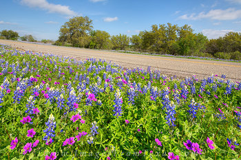 Texas Bluebonnets and Stork's Bill 2