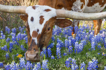 Longhorns, bluebonnets, dirt road, wildflowers, spring, hill country, rural, cattle