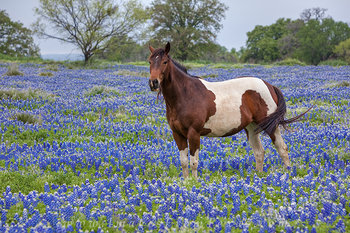 Bluebonnets and a Mare near Marble Falls
