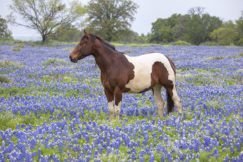 bluebonnets,horses,texas wildflowers,texas hill country