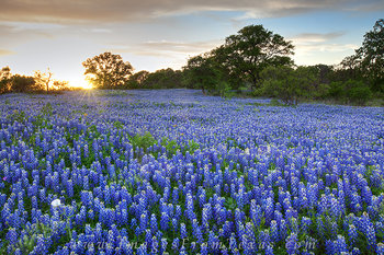 bluebonnets,Texas wildflowers Texas Hill Country,Texas landscapes,bluebonnet images