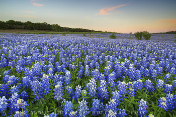 bluebonnet photos,bluebonnets prints,texas wildflowers,texas hill country,texas landscapes,bluebonnets