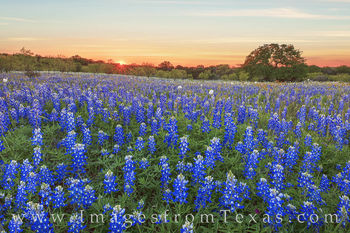 Bluebonnets, Sunset, poppies, wildflowers, hill counry, evening, solitude, mason county, pastel, blue, sunburst