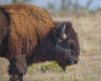 buffalo, caprock canyons state park, wildlife texas icon, west texas