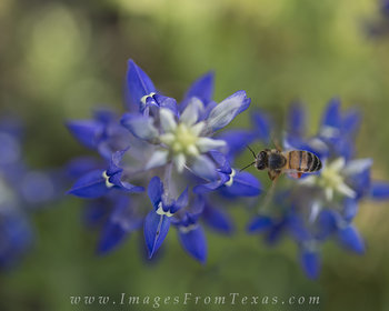 texas bluebonnets,texas wildflowers,bees,bluebonnet prints