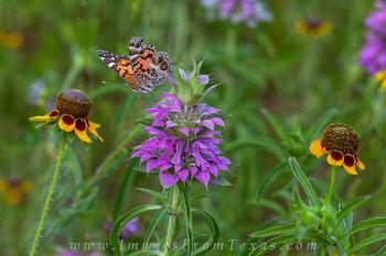 Butterfly on Texas Horsemint