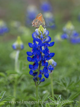 bluebonnet, butterfly, wildflowers, texas wildflowers, texas bluebonnets, hill country, texas hill country