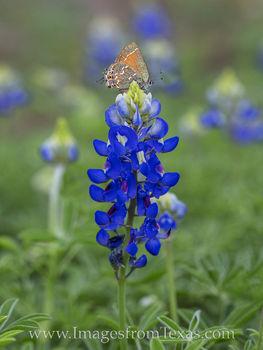 Butterfly on a Bluebonnet 1