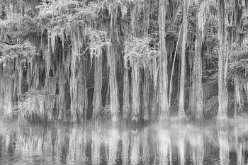 Caddo Lake Cypress Black and White 3