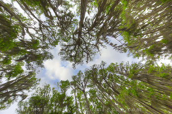 Canopy of Cypress at Caddo Lake 1
