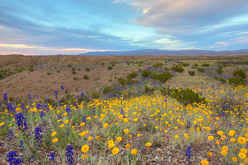 bluebonnets,Chisos mountains,big bend,texas landscapes