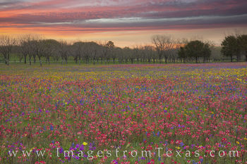 wildflowers, bluebonnets, paintbrush, new berlin, church road, san antonio, morning, sunrise, phlox