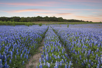 texas wildflowers,bluebonnets,bluebonnet prints,bluebonnet field,texas bluebonnets