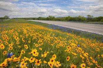 texas wildflowers,coreopsis,texas hill country,prints,digital files,bluebonnets