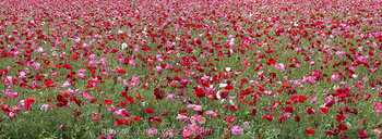 texas wildflowers,wildflowers pano,corn poppies,poppy images,wildflower prints