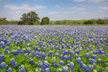 bluebonnets,bluebonnet photos,texas wildflowers,cypress mill,texas hill country