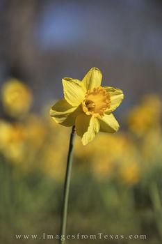 Daffodil Portrait 1