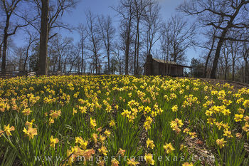 Daffodils by a Cabin 3