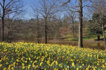 Daffodiils by the Lake 1