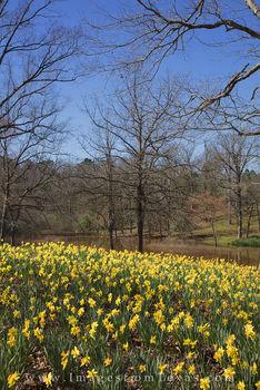 Daffodils by the Lake 2
