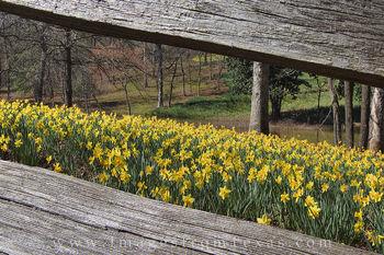 Daffodils through a Wooden Fence 1