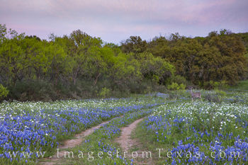 bluebonnets, deer, hill country, path, evening, exploring, bluebonnet prints, wildlife