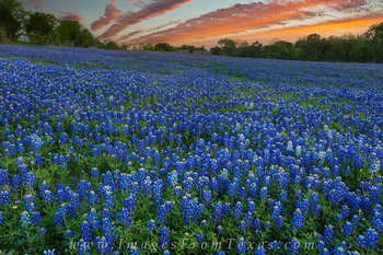 bluebonnet prints,bluebonnet pictures,texas wildflowers,texas landscapes,texas sunset