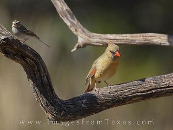 Female Cardinal 11