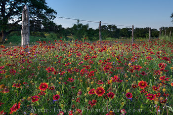 texas wildflowers,indian blankets,wildflower prints,texas hill country wildflower