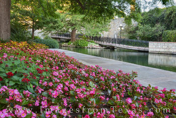 riverwalk, san antonio, flowers, pink, trail, downtown, historic district, evening