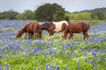 horses in bluebonnets,texas bluebonnets,texas wildflower prints,texas wildflowers