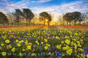 Golden Wildflower Sunrise 402-2
