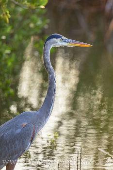 Great Blue Heron - South Padre Island 1