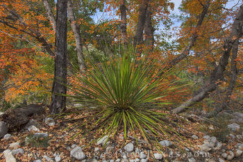 guadalupe mountains national park, texas national parks, mckittrick canyon, fall colors, texas fall colors, autumn colors. guadalupe mountains national park, yucca, bigtooth maple