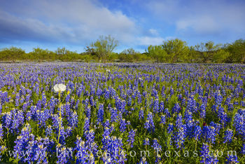 bluebonnets, wildflowers, poppies, hill country, mesquite trees, afternoon, blue, sky