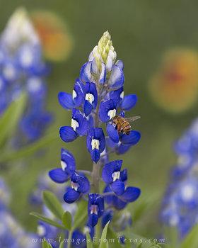 Honeybee Working on a Bluebonnet 3