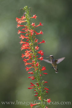 Hummingbird and Red Texas Star 528-1