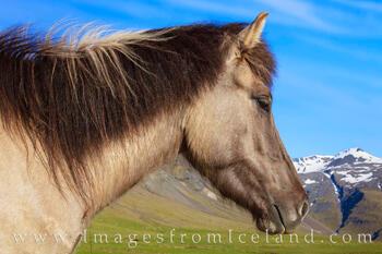 Icelandic Horse 6