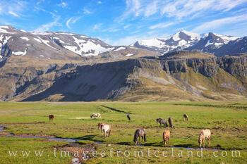 Icelandic Horses near Grundarfjörður 2