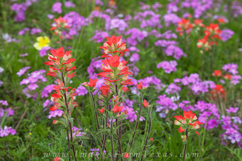 texas wildflower prints,texas wildflowers,indian paintbrush,flox
