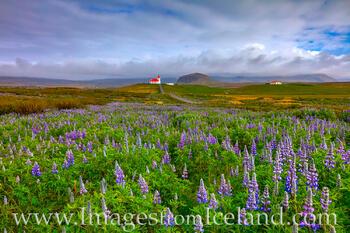 Ingjaldshólskirkja and Lupine - West Iceland 1