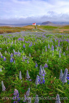 Ingjaldshólskirkja and Lupine - West Iceland 2
