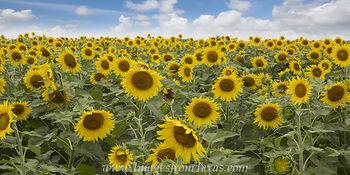 Late June Texas Sunflower Panorama