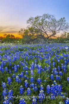 Late March Bluebonnet Sunset 331-2