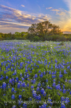 bluebonnets, sunset, peace, wildflowers, spring, 2020, hill country, country roads, rural