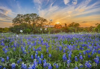 bluebonnets, white prickly poppies, wildflowers, bluebonnet prints, wildflower prints, sunset, hill country, dirt road, evening, tranquil, landscapes