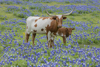 longhorns, longhorn images, bluebonnets, bluebonnet images, texas bluebonnets, texas wildflowers, texas wildflower photos, texas hill country, hill country prints
